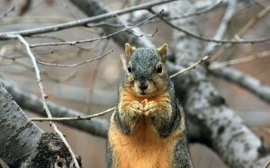 close-up of squirrel eating a seed in dormant tree